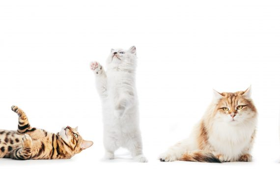 KUL katter
